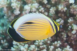 BD-120425-St-Johns-6575-Chaetodon-austriacus.-Rüppell.-1836-[Blacktail-butterflyfish].jpg